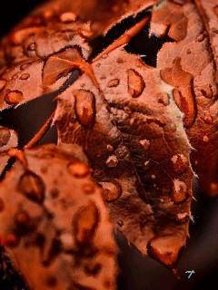 Красные листья в каплях дождя. - анимация на телефон №1178035