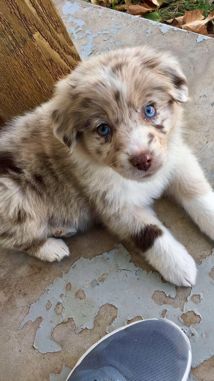 Who Can Resist A Puppy Not Me For Sure Look At These Guys And Put A Smile On Your Face Doggie Dogs Puppies Dog Train Australian Puppies Aussie Puppies