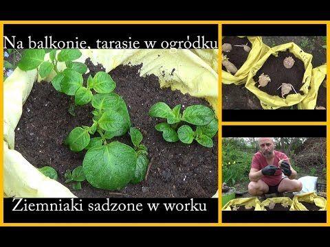 Sadzimy ziemniaki w workach. Na balkonie, tarasie, w ogrodzie.
