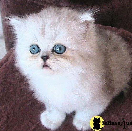 Free Munchkin Kittens   Munchkin Cat Price Uk
