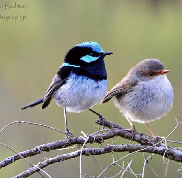 Male and female superb fairy wrens https://www.facebook.com/photo.php?fbid=10205010470654388