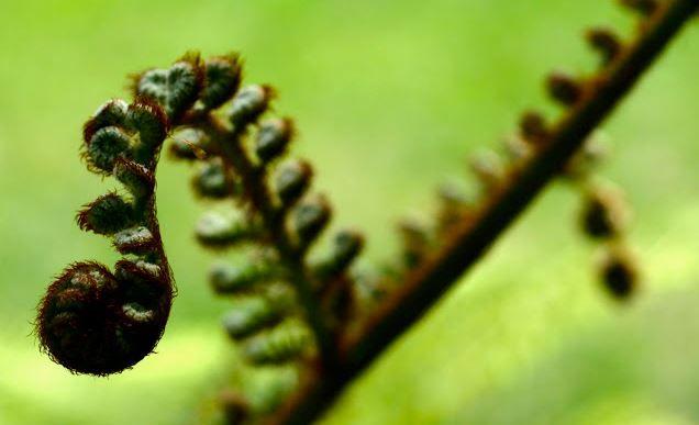 Tumbuhan paku atau dikenal juga dengan Pteridophyta, dibagi menjadi empat kelas, yaitu Psilophyta. Sphenohyta, Lycopodophyta, dan Pterophyta.