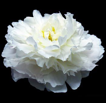 DIY a peony from coffee filters. Tutorial.