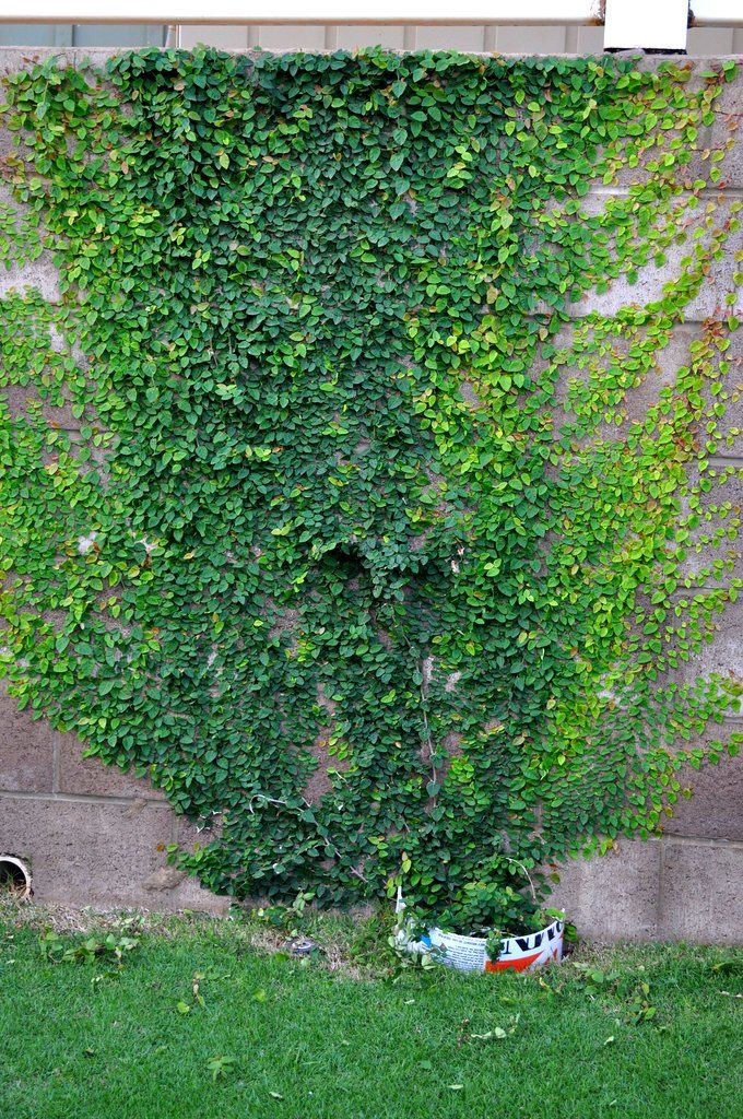 ficus pumila - creeping fig (minima) - it grows up as a first priority, but with our encouragement, we can cover the wall.