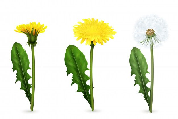 Download Set Of Realistic Images Of Yellow And White Dandelion Flowers With Leaves In Different Stages Of Flowering Isolated For Free Dandelion Flower Dandelion Drawing Graphic Design