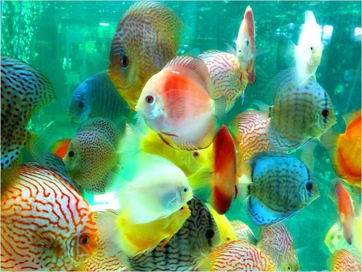 Rare discus fish the life of animals discus discus for Colorful freshwater aquarium fish