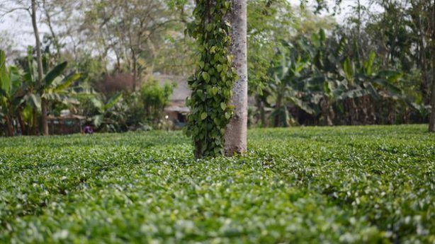 Climatechange affecting tea production in India