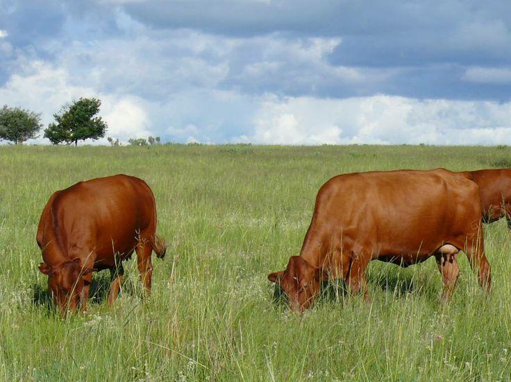 Gelykwater Bonsmara - Medium raam koeie -  - http://gelykwater.co.za/?post_type=portfolio&p=1400
