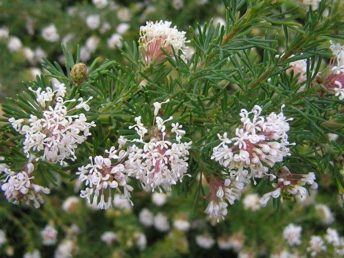Grevillea crithmifolia prostrate ground cover