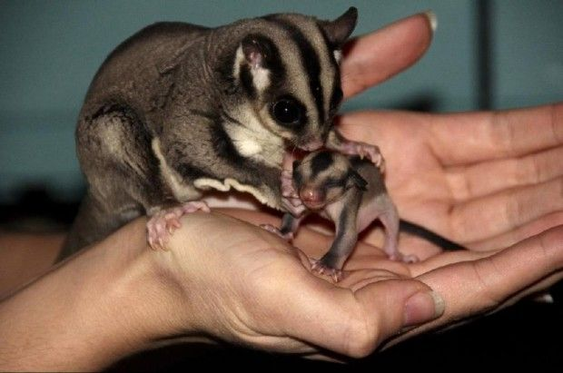 . Sugar glider; mom takes very good care of her babies!