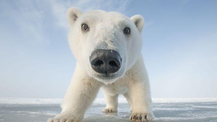 Snowbound: Animals of Winter | About | Nature | PBS