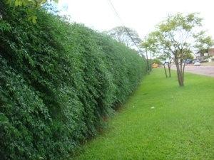 Sansão do campo - Cerca-viva para grandes propriedades, alcança grande altura e possui acúleos em seu tronco. Não deve ficar ao alcance de bovinos e é utilizado como quebra-vento.