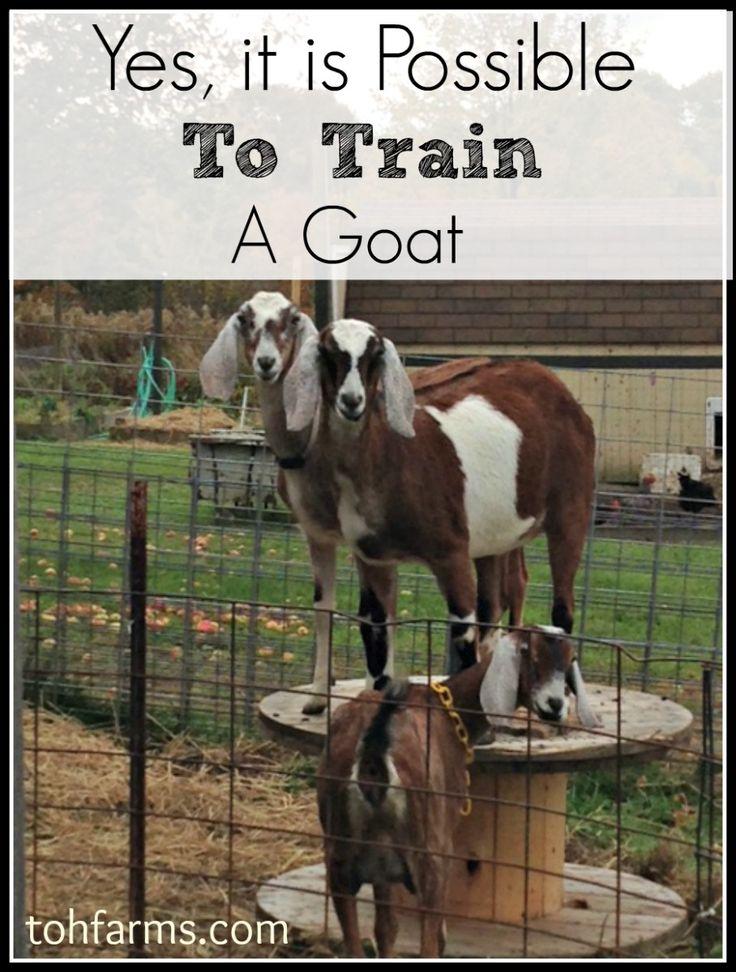 A Goat S Journey Over Life S: Best 25+ Pygmy Goats Ideas On Pinterest