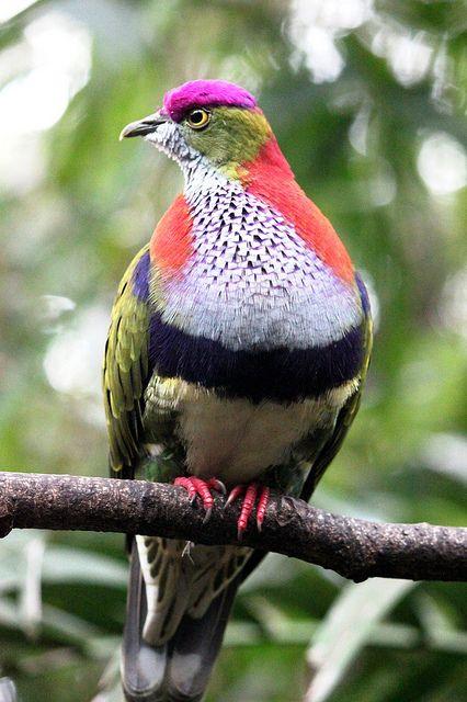 Fruit dove IMG_9808 by OZinOH on Flickr.Superb Fruit Dove, Taronga Zoo
