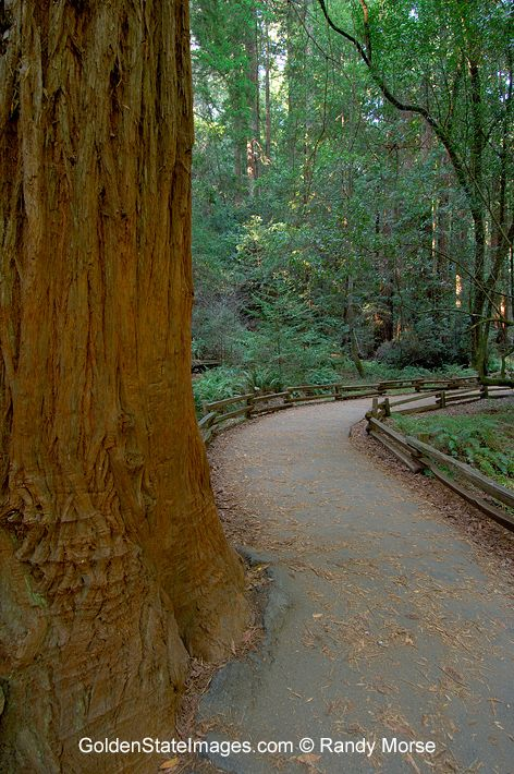 Trail among the Redwoods of Muir Woods. species: Sequoia sempervirens location: Muir Woods San Francisco California