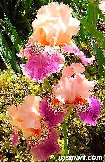 Savannah Fair tall bearded irises