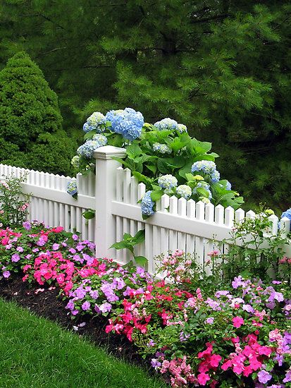 Next year, I will plant in front of the picket fence like this. I love it! Beautiful.  BLUE MOPHEADS HUGGING CAPE COD FENCE by Joan Harrison