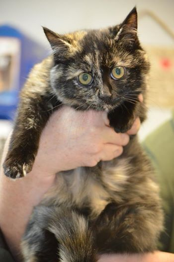 93 Best Tortoiseshell Cat Images On Pinterest  Calico -9786