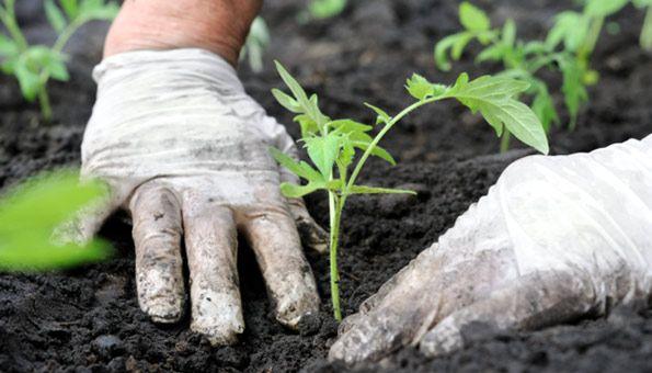 Wann Tomaten pflanzen