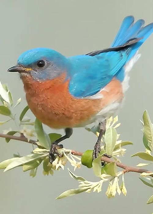Bluebird - photo by William Jobes