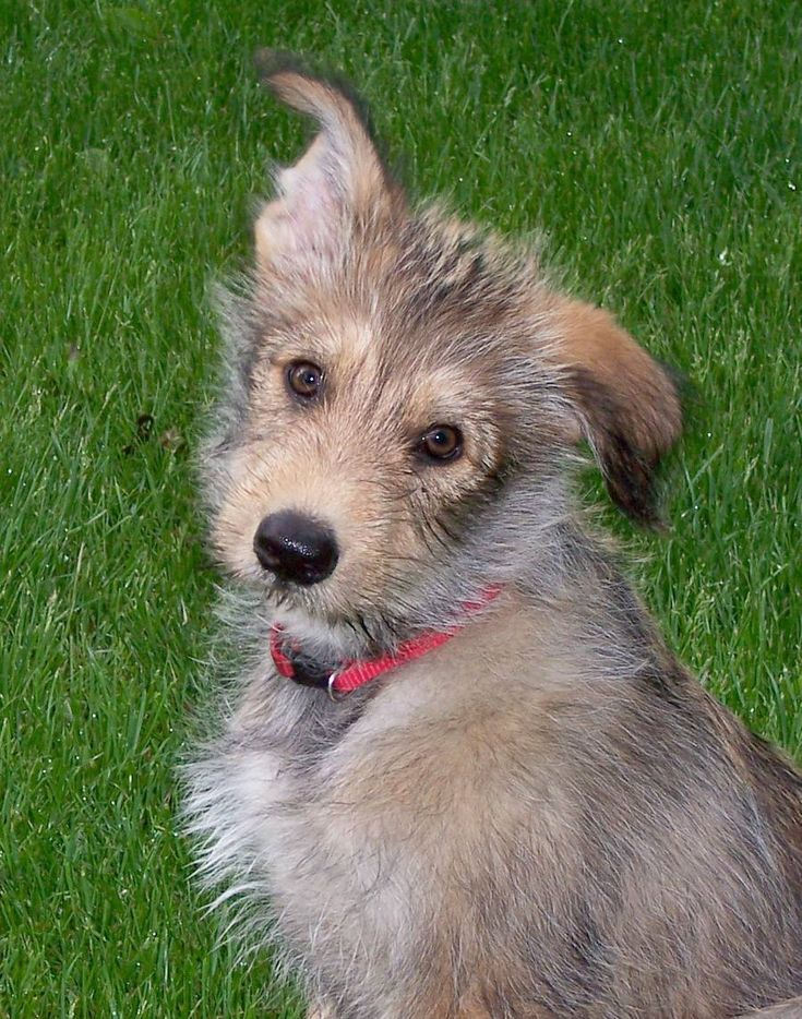 I will have an Irish Wolfhound before I die!