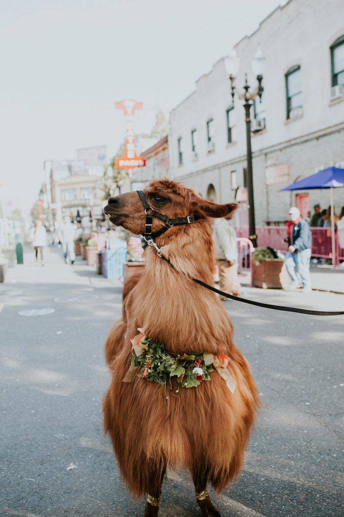Meet Rojo the Llama he witnessed the cutest couple renew their vows | Image by Jamie Carle Photography #vowrenewal #anniversary #llama #animalinwedding