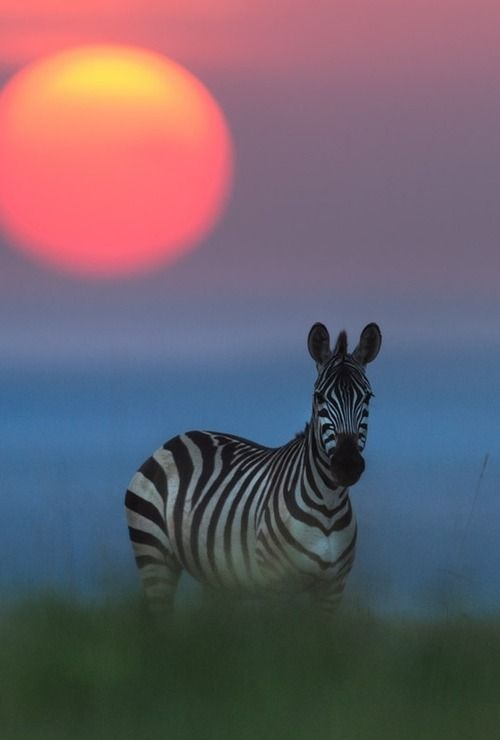 """ Good Night Zebra """