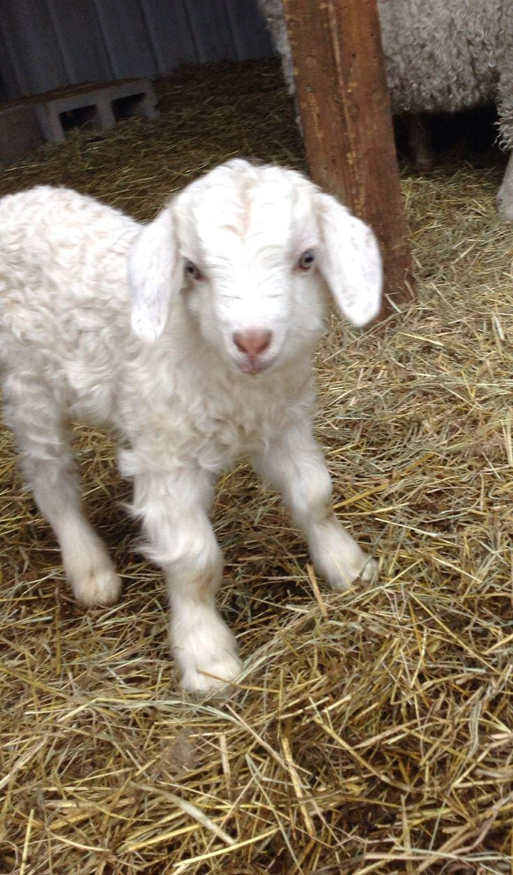 Baby angora goat. Soooo cute