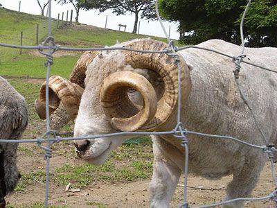 マザー牧場にいる、かっこいい角をもつ羊