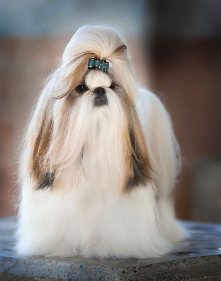 long haired shih tzu 66 best images about long haired shih tzu on pinterest 2219