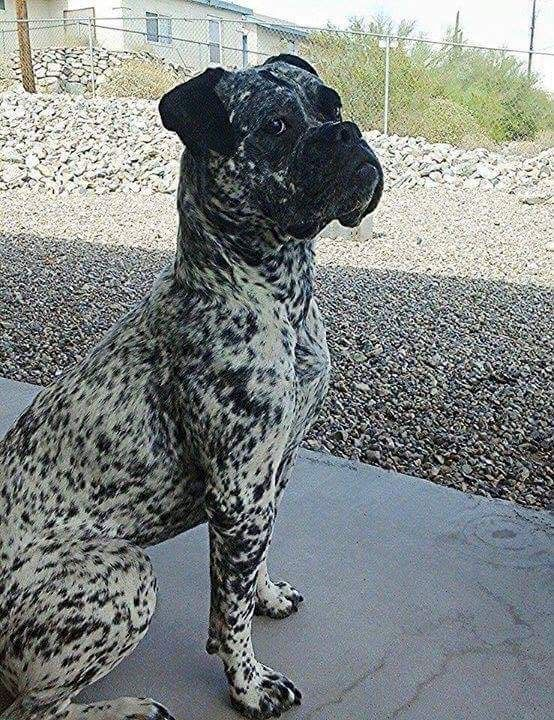 Brindle on white. I have never seen this!