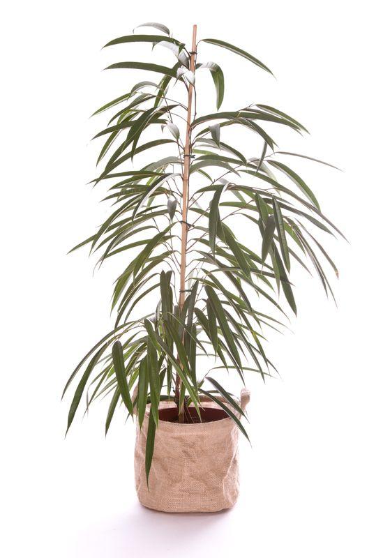 Ficus Alii 130/150cm