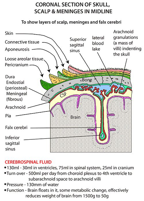 Instant Anatomy - Head and Neck - Areas/Organs - Scalp - Layers 2 Coronal section of skull