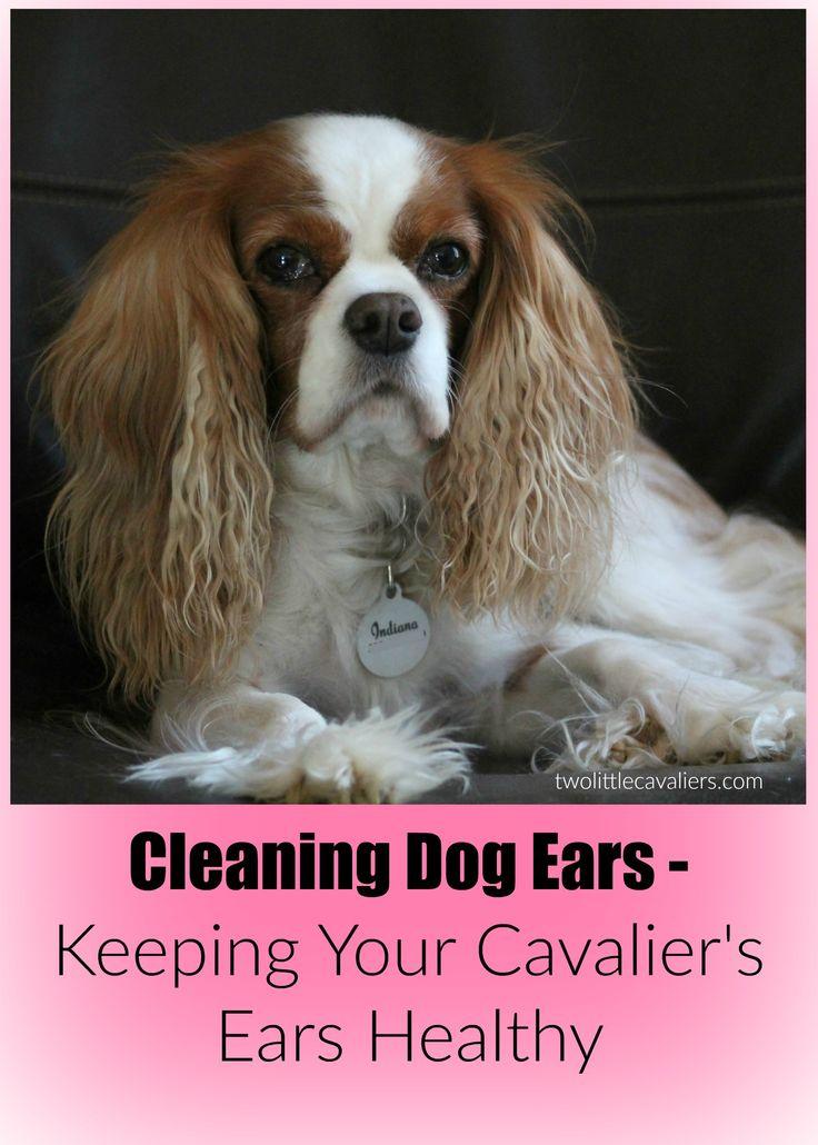 Best 10 Cleaning Dogs Ears Ideas On Pinterest Dog Ear
