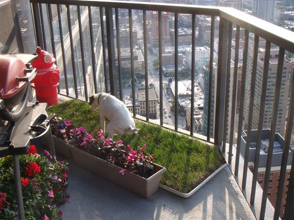 Terrier going potting on sod in an apartment balcony.