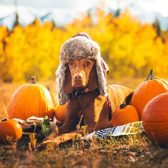 Happy Canadian Thanksgiving American Columbus Day And Harvest Season For The Rest Of Us Except Those In Upside Down Land Vizsla Vizsla Dogs Hungarian Vizsla