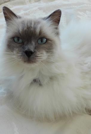 Ragdoll cat for sale phoenix