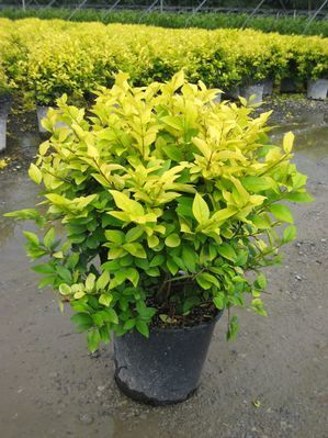 Golden Vicary Privet is a large hardy shrub with dense branches. They would make a great specimen shrub as well as borders, privacy screens & hedges. The Golden Vicary Privet is valued for its golden leaves. This lovely golden-leafed privet grows 8-10 feet high & wide with a vase-like or oval shape. Upright stems are covered with bright golden leaves in full sun, light green in shade #garden #spring #gardenchat #trees #flowers #gardening #plants