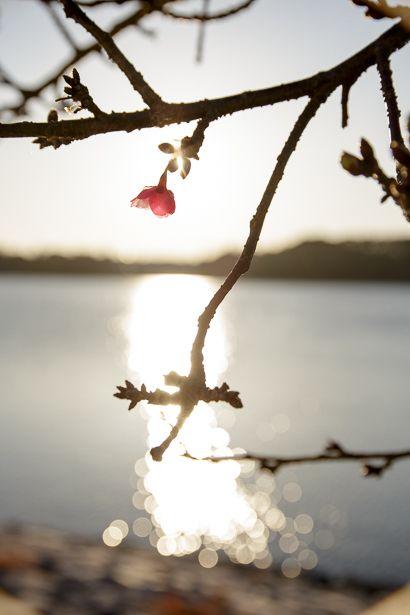 例年通りですが、 河津桜がポツリポツリと咲き出しました。  写真を撮っていると 知らない人から親...