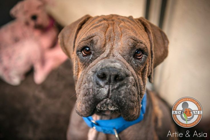 3/4/17 STILL THERE!! 2/25/17 Artie – 2/yo male Boxer. When we got the call from our rescue partners at Animal Friends of the Valleys about these two young Boxers …