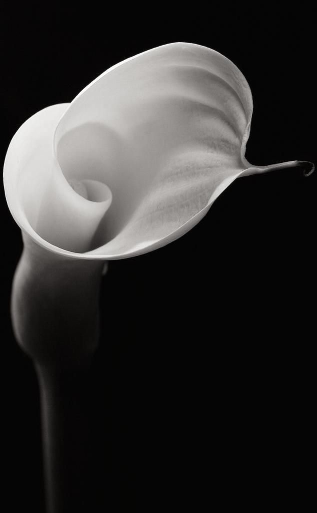 Calla Lily - Robert Mapplethorpe Photographe
