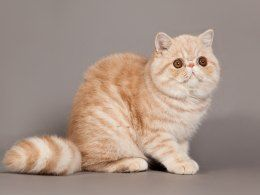 There are many beautiful breeds of cat in the world with some boasting a wild look and others that are just too cute for words. Cats with short muzzles re...