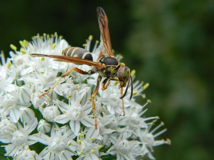 Wasp in Kenora, Ontario, Canada