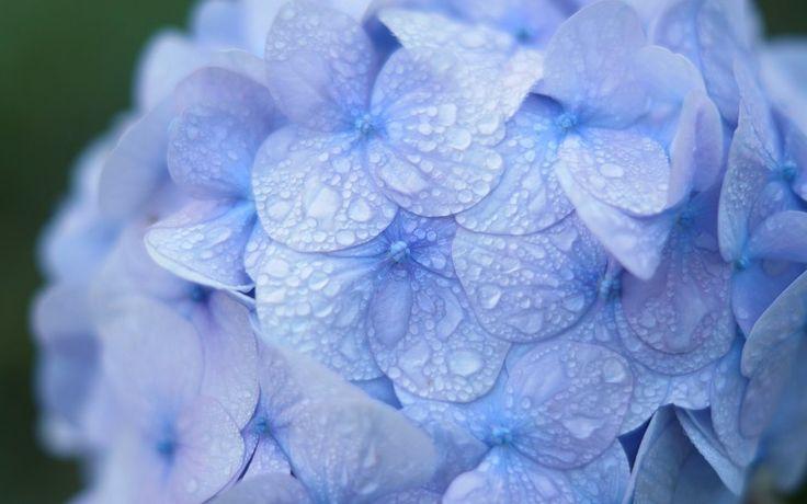 Flores. Hortensias azules con gotas de lluvia. Wallpaper.
