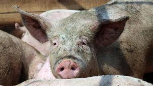 Фура со свиньями перевернулась на трассе под Иркутском https://rusevik.ru/news/355279