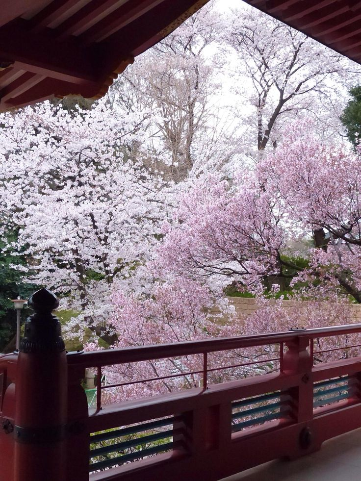 Sakura -- cherry blossoms The beauty of Japanese homes and gardens...simple elegance, uncluttered and beautiful to behold