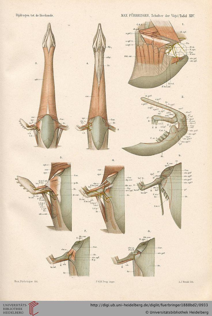 63 besten Anatomy Aves Bilder auf Pinterest | Tieranatomie, Vögel ...