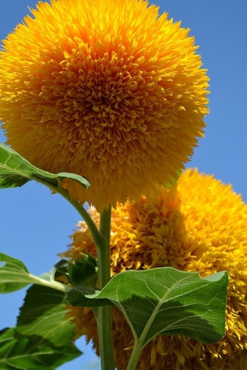 Teddy Bear Sunflowers?!  Must have these in a garden someday.  And I thought Alliums were cool.
