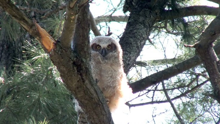 A Great Horned Owl fledgling looks at us from a tree in Thickson's Woods - Whitby - Ontario