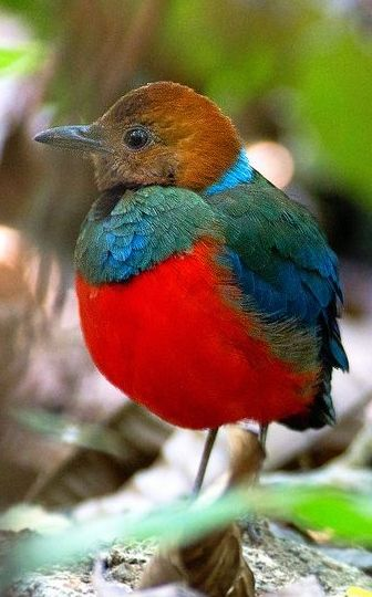 Red Bellied Pitta bird ✿⊱╮| by srl2006 on Flickr
